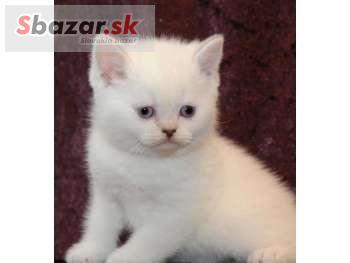Britská krátkosrstá mačiatka na predaj - PROFIBAZAR.sk 85b6d352674