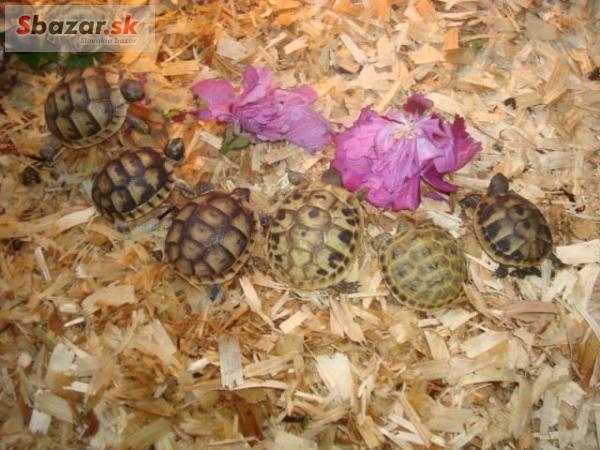 Mláďata suchozemských želv. Vlastní odchov.