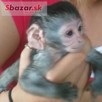 Prodám Ockované Kapucínský opice
