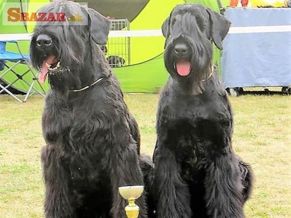 Bradač velký černý štěn. s PP