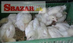 Brojlerové kurčatá, Kalimero