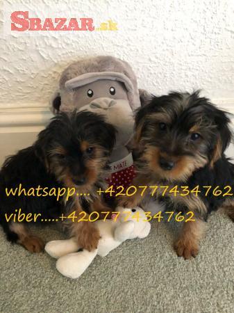 Nádherné šteniatka Yorkshire Terrier na predaj.