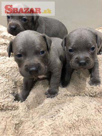 Šteniatka Blue Staffordshire Terrier Bull