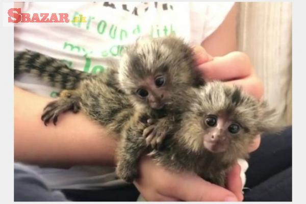 Opice Marmoset na adopciu.