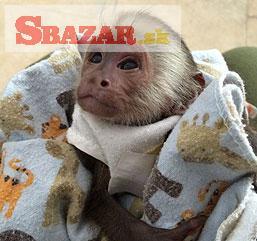samce a samice kapucínskych opíc, ktoré sú ter