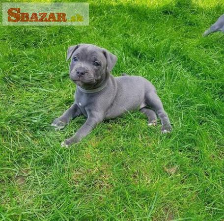Fantastické modré Kc registrované Staffy Pups
