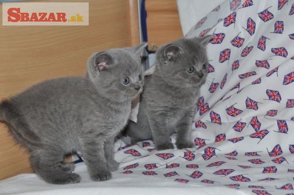 Nádherné modré britské mačiatka Gccf Reg