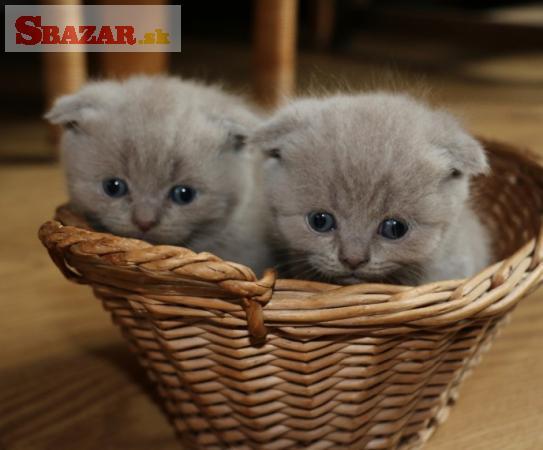 Nádherné škótske záhyby mačiatka