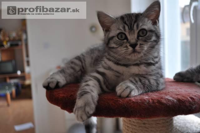 Britské mačiatka Whiskas s PP k odberu ihneď. - PROFIBAZAR.sk 178e0b7b3f4