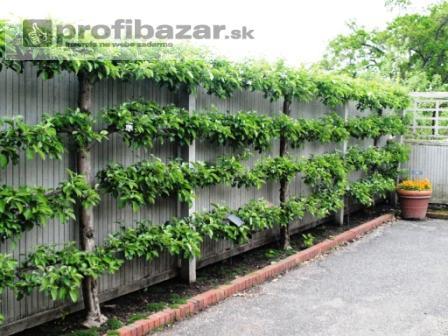 Predám rastliny na živé ploty - PROFIBAZAR.sk df7e7d284ed