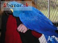 Sladké Hyacint papoušek papoušci pro prodej