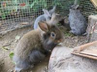 Zakrslé milé králičky v Bratislave
