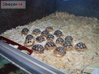 Mláďata suchozemských želv. Vlastní odchov. 232558
