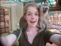 Prodám Ockované Kapucínský opice 235766