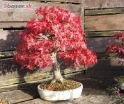 Bonsai Červený