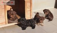 Boloňský barevný psík-tsvetnaya bolonka-ště�