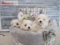 Maltézský psík na prodej