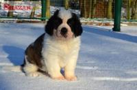 Svatobernardský pes s PP (Bernardýn)