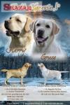 Labradorský retriever - žlutá štěňátka s PP