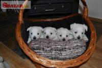 West highland white terrier (westík)