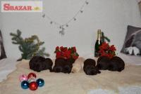 Čokoládová štěňátka Labradorského retrieve