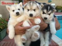 Sibírsky husky rodokmeň šteniatka k dispozícii