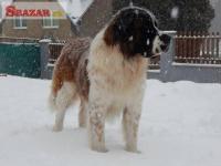Prodej štěňátek moskevského strážního psa 242787