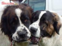 Moskevský strážní pes - rezervace na prodej š
