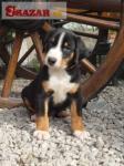 Appenzellský salašnícky pes 245410
