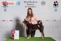 Appenzellský salašnícky pes 245411
