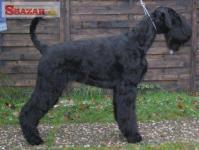 Bradač velký černý štěn. s PP 245602