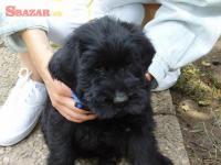 Bradač velký černý štěn. s PP 245603