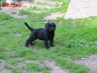 Bradač velký černý štěn. s PP 245604
