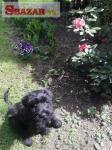 Bradač velký černý štěn. s PP 245605