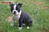 Bostonský terier predaj 245877