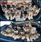 Aljašský malamut - štěně - 2 fenky a 1 pes