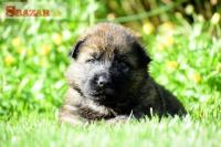 nemecký ovčiak šteniatka s PP 246868
