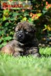 nemecký ovčiak šteniatka s PP 246869