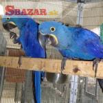 Nabídka Puvabný Hyacint papoušek papoušci