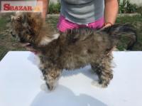 Prodám štěně čínský chocholatý pes- labut�