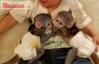 Prodám Kapucínský opice