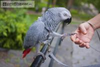 Prodám Žako  papoušci