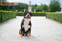 Entlebušský salašnícky pes 247930