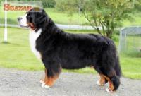 Bernský salašnícky pes 247936