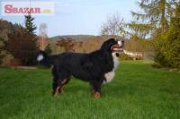 Bernský salašnícky pes 247937