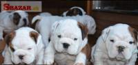 Anglický Bulldog šteniatka