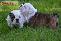Anglický Bulldog šteniatka 248062
