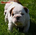 Anglický Bulldog šteniatka 248063