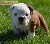 Anglický Bulldog šteniatka 248064