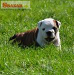 Anglický Bulldog šteniatka 248065